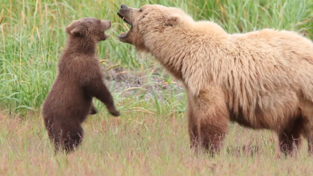 a grizzly bear cub playfully bats at its mother. - bear stock videos and b-roll footage