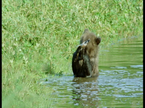 grizzly bear cub plays with rubbish in river, alaska - bear cub stock videos and b-roll footage