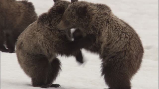 Grizzly bear (Ursus arctos) cubs play fight on snow, Yellowstone, USA