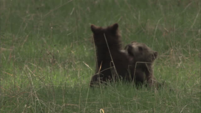 grizzly bear (ursus arctos) cubs play fight, yellowstone, usa - raubtierjunges stock-videos und b-roll-filmmaterial