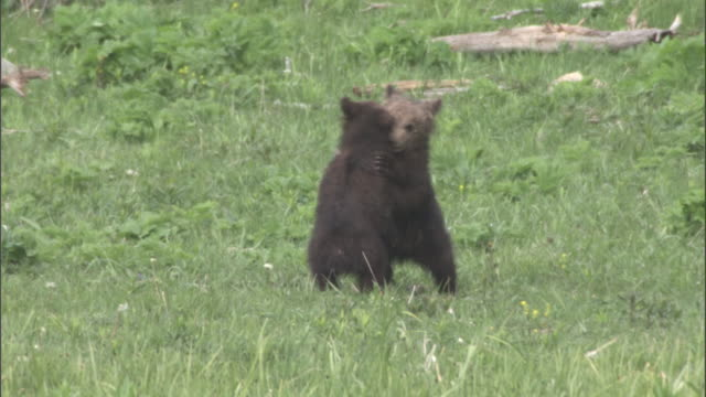 grizzly bear (ursus arctos) cubs play fight, yellowstone, usa - bärenjunges stock-videos und b-roll-filmmaterial