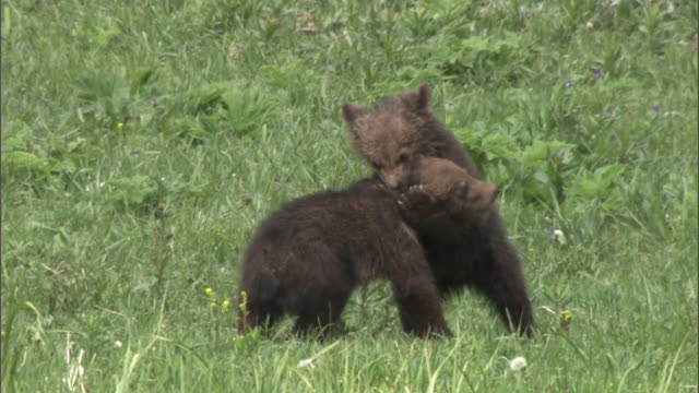 grizzly bear (ursus arctos) cubs play fight, yellowstone, usa - grizzlybär stock-videos und b-roll-filmmaterial
