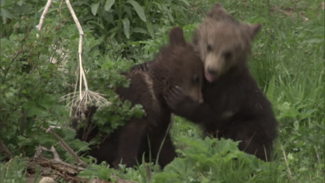 grizzly bear (ursus arctos) cubs play fight, yellowstone, usa - brown bear stock videos & royalty-free footage