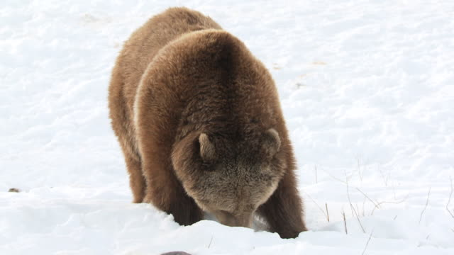 ms slo mo grizzly bear digging in snow / livingstone, montana, united states - digging stock videos and b-roll footage