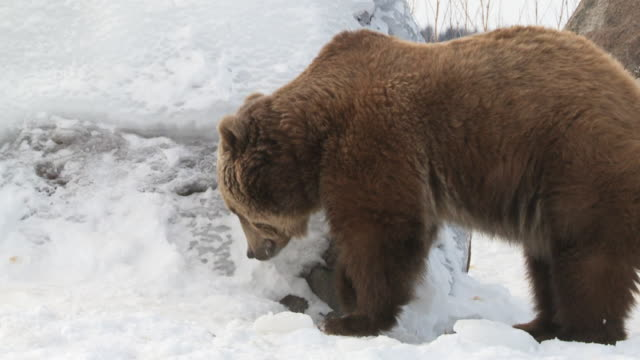 ms slo mo  grizzly bear digging in snow searching for food / livingstone, montana, united states - digging stock videos and b-roll footage