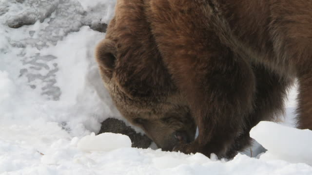 cu slo mo  grizzly bear digging in snow searching for food / livingstone, montana, united states - digging stock videos and b-roll footage