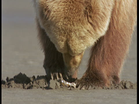 a grizzly bear digs in wet sand. - ebbe stock-videos und b-roll-filmmaterial