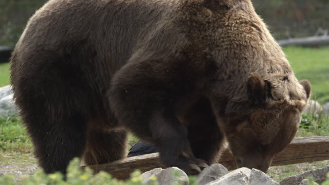 grizzly bear eating as it rolls over rocks - digging stock videos & royalty-free footage