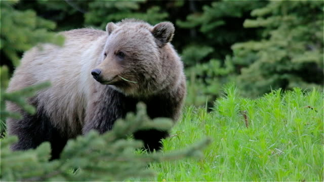 grizzly bear eating grass - bear stock videos and b-roll footage