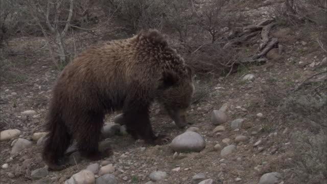"vidéos et rushes de grizzly bear (ursus arctos) eats grass on hillside, yellowstone, usa - ""bbc natural history"""