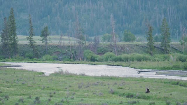 Grizzly bear feeding near a river in Yellowstone National Park.