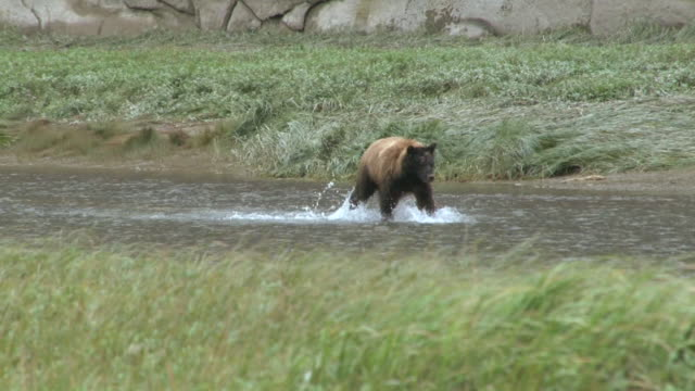 stockvideo's en b-roll-footage met grizzly bear fishing - dieren in het wild