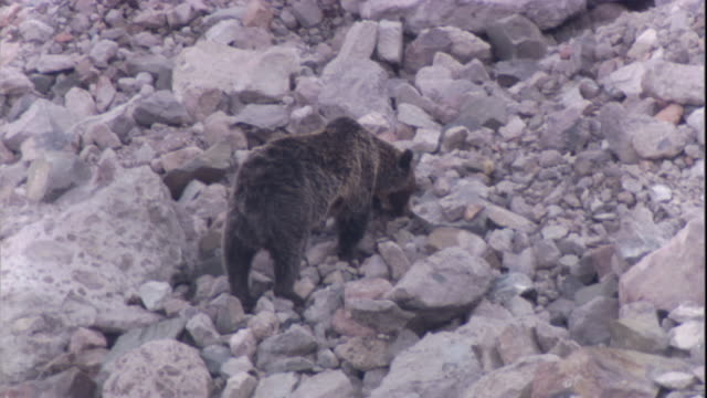 vidéos et rushes de a grizzly bear forages for moths on scree slope. available in hd. - ours brun