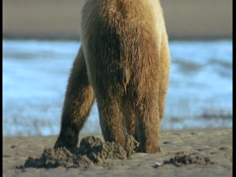 a grizzly bear forages on a beach at low tide. - low tide stock videos & royalty-free footage