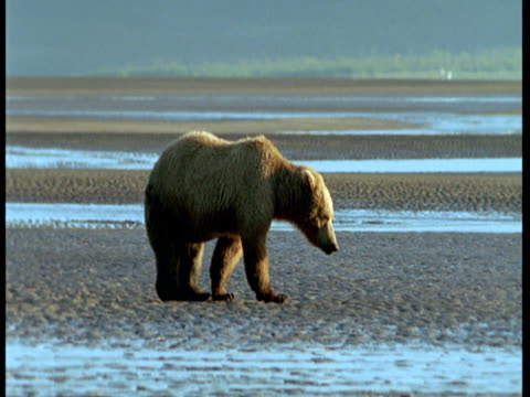 vídeos de stock, filmes e b-roll de a grizzly bear forages on a beach at low tide. - onívoro