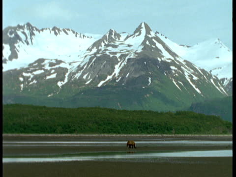 a grizzly bear forages on a beach at low tide. - ebbe stock-videos und b-roll-filmmaterial