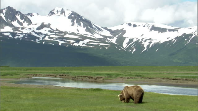 stockvideo's en b-roll-footage met a grizzly bear forages on a riverbank at the foot of snowy mountains. - foerageren