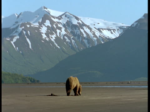 A grizzly bear forages on a sandy beach at low tide.