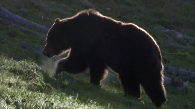 vidéos et rushes de grizzly bear (ursus arctos) forages on hillside, yellowstone, usa - parc national de yellowstone
