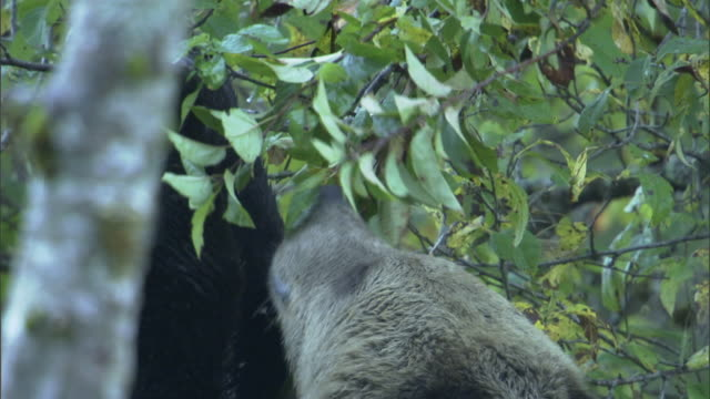 vídeos de stock, filmes e b-roll de a grizzly bear forages on tree leaves. - onívoro