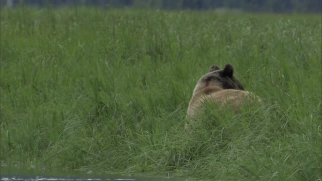 vídeos de stock, filmes e b-roll de a grizzly bear grazes in a grassy meadow. - onívoro