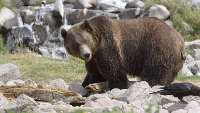 grizzly bear in front of waterfall scavenging for food - scavenging stock videos & royalty-free footage