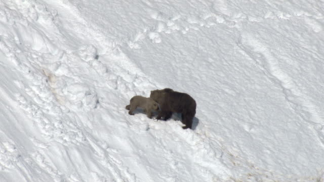 A grizzly bear interacts with her cubs on a snowy mountain slope.