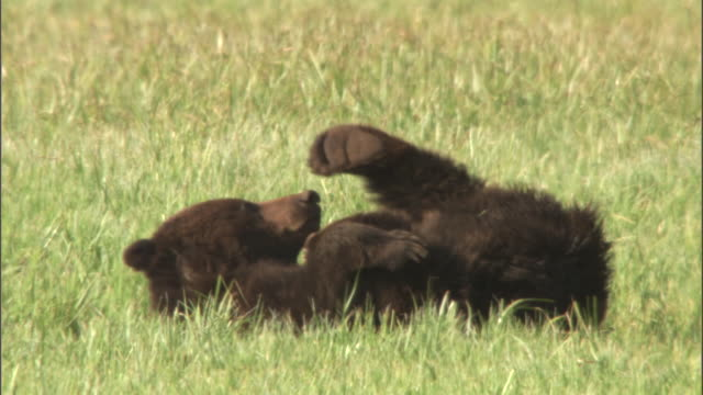 grizzly bear (ursus arctos) lies on back and scratches itself, yellowstone, usa - grizzlybär stock-videos und b-roll-filmmaterial