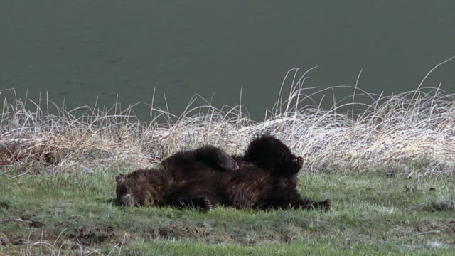grizzly bear lying down, scratches belly, spring in yellowstone national park, wyoming - wyoming stock videos & royalty-free footage