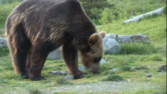 A grizzly bear noses around a grassy riverbank.