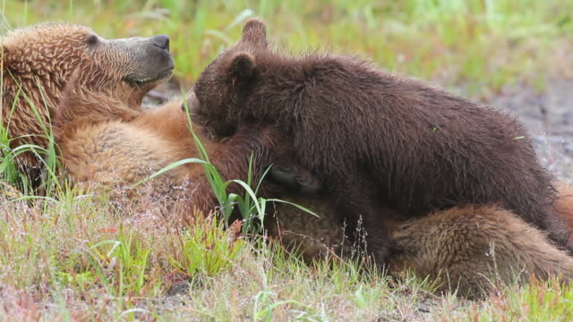 a grizzly bear nurses. - bärenjunges stock-videos und b-roll-filmmaterial