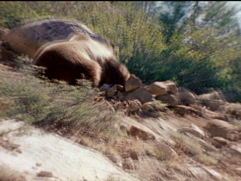 A grizzly bear overturns large rocks as it hunts for food