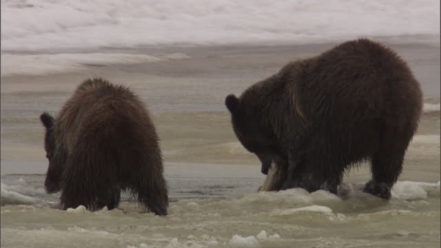grizzly bear (ursus arctos) pulls dead salmon from icy river, yellowstone, usa - river yellowstone stock videos and b-roll footage
