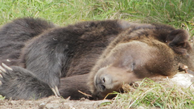 Grizzly bear resting in the sun
