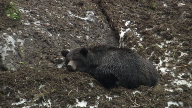 a grizzly bear rests on a muddy bank. - bear stock videos and b-roll footage