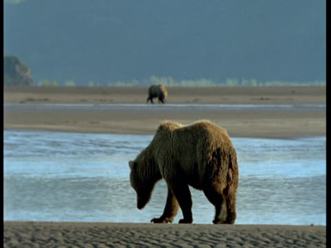 grizzly bear roams around a beach during low tide. - ebbe stock-videos und b-roll-filmmaterial