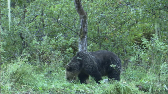 a grizzly bear rubs against a tree trunk. - scratching stock videos & royalty-free footage
