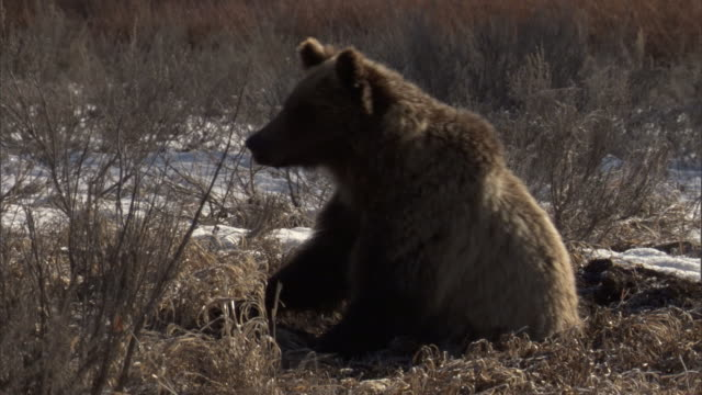 grizzly bear (ursus arctos) rubs its bottom on ground, yellowstone, usa - scratching stock videos & royalty-free footage