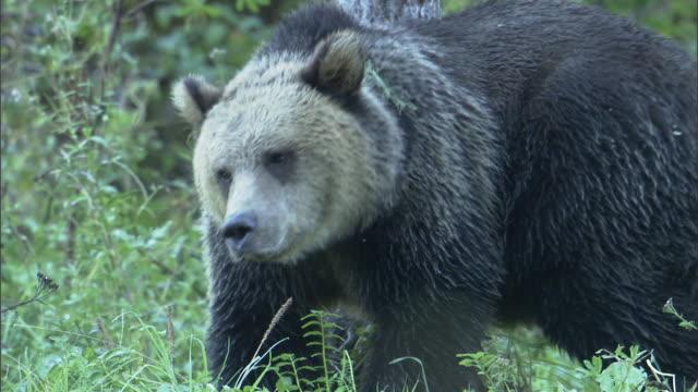 stockvideo's en b-roll-footage met a grizzly bear rubs its rump against a tree trunk, then walks away. - krab
