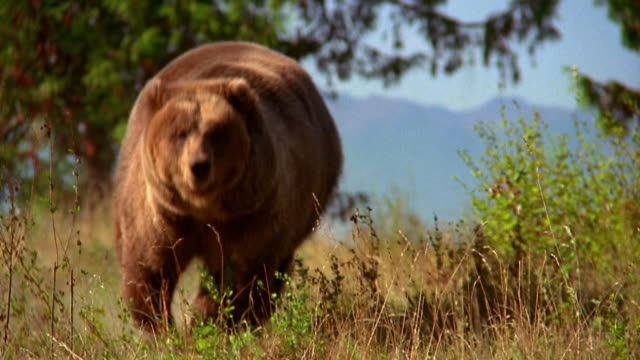 vídeos de stock, filmes e b-roll de grizzly bear running in grass toward and past camera / olympic peninsula, washington - autoridade