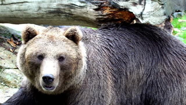 stockvideo's en b-roll-footage met grizzly bear krabben zijn terug onbekenden een boomstam - krab