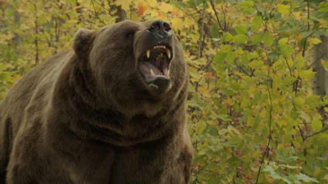 A grizzly bear shows its fangs.