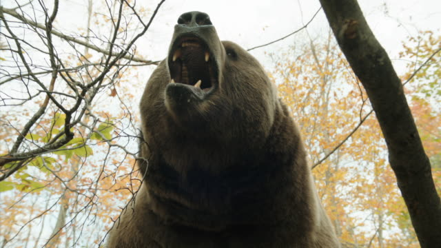 vidéos et rushes de a grizzly bear shows its fangs. - ours brun
