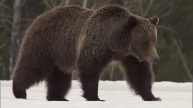 grizzly bear (ursus arctos) sinks into snow, yellowstone, usa - bear stock videos and b-roll footage