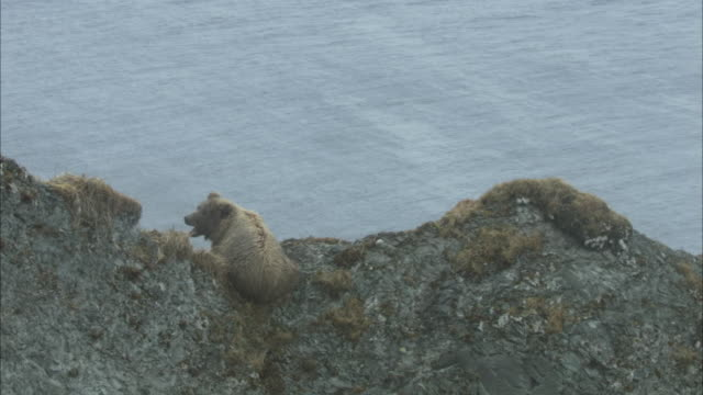 a grizzly bear sits atop a high coastal ridge. - 崖点の映像素材/bロール