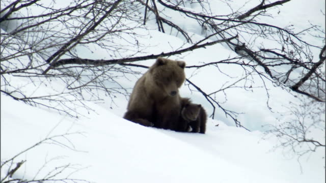 a grizzly bear sits in the snow with her cubs. - animal family stock videos & royalty-free footage