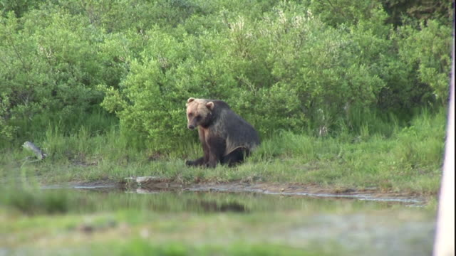 A grizzly bear sits on a grassy riverbank.