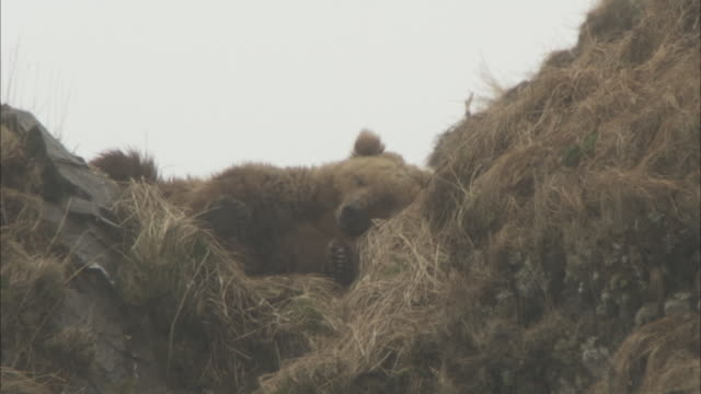 a grizzly bear sleeps in a grassy ravine and looks up to yawn. - tarnung stock-videos und b-roll-filmmaterial