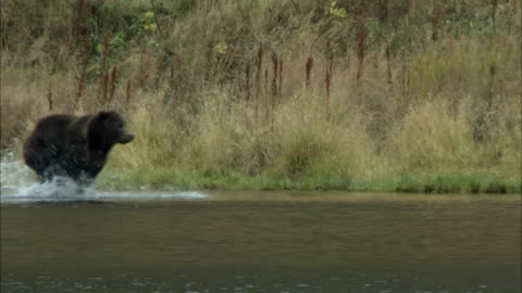 a grizzly bear splashes along a riverbank. - riverbank stock videos & royalty-free footage