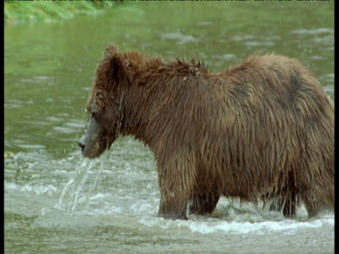 grizzly bear splashes and catches salmon in river, alaska - grizzlybär stock-videos und b-roll-filmmaterial